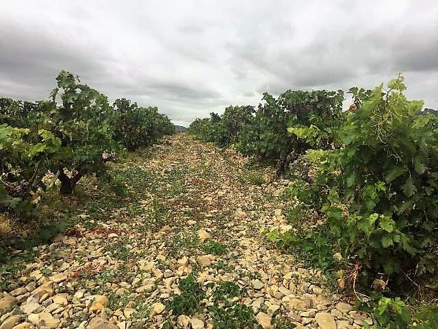 Vinedo_en_Rioja_1