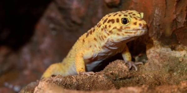 gecko_pequeno