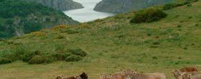 Valles del Esla ofrece su carne de buey auténtico